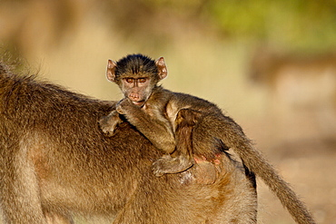 Infant Chacma baboon (Papio ursinus) riding its mother's back, Kruger National Park, South Africa, Africa