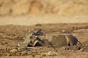 Warthog (Phacochoerus aethiopicus) mud bathing, Addo Elephant National Park, South Africa, Africa