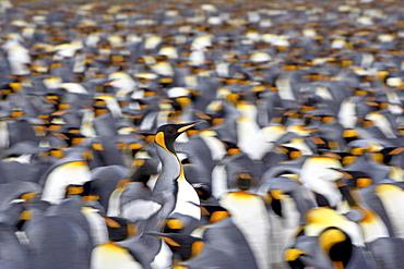 King penguin (Aptenodytes patagonica) walking through the colony, Salisbury Plain, South Georgia, Polar Regions
