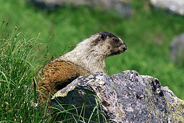 Hoary marmot (Marmotta caligata), Banff National Park, Alberta, Canada, North America