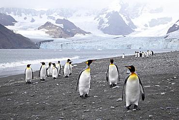 King penguin (Aptenodytes patagonica) at Moltke Harbor near Ross Glacier, Royal Bay, South Georgia, Polar Regions