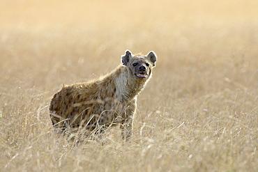 Spotted hyena (spotted hyaena) (Crocuta crocuta), Masai Mara National Reserve, Kenya, East Africa, Africa