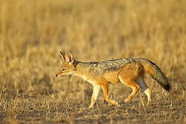 Young black-backed jackal (silver-backed jackal) (Canis mesomelas), Masai Mara National Reserve, Kenya, East Africa, Africa