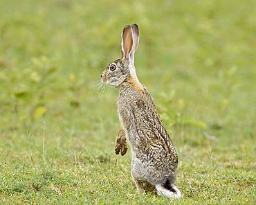 African hare (Cape hare) (brown hare) (Lepus capensis), Serengeti National Park, Tanzania, East Africa, Africa
