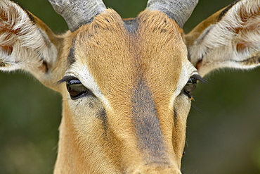 Male impala (Aepyceros melampus), Kruger National Park, South Africa, Africa