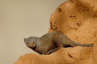 Dwarf mongoose (Helogale parvula), Samburu National Reserve, Kenya, East Africa, Africa
