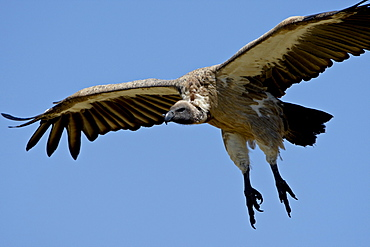 African white-backed vulture (Gyps africanus) on final approach, Masai Mara National Reserve, Kenya, East Africa, Africa