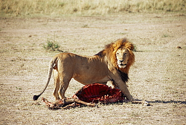 Male lion (Panthera leo), with gnu carcass, Masai Mara National Reserve, Kenya, East Africa, Africa