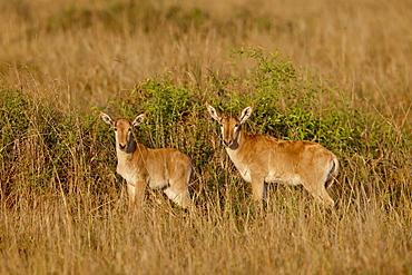 Two young Coke's Hartebeest (Alcelaphus buselaphus cokii), Masai Mara National Reserve, Kenya, East Africa, Africa