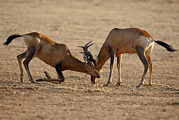 Two male red hartebeest (Alcelaphus buselaphus) sparring, Kgalagadi Transfrontier Park, South Africa