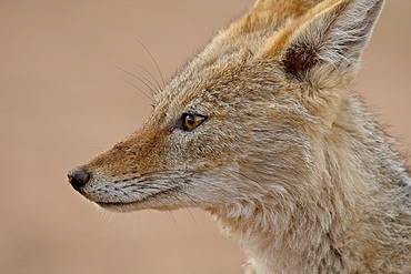 Black-backed jackal (silver-backed jackal) (Canis mesomelas), Kgalagadi Transfrontier Park, South Africa