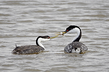 Western grebe (Aechmophorus occidentalis) courtship, Bear River Migratory Bird Refuge, Utah, United States of America