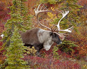 Bull porcupine caribou (Grant's caribou) (Rangifer tarandus granti), Denali National Park, Alaska, United States of America