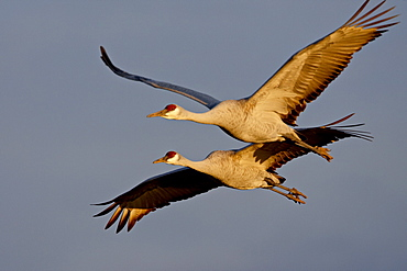 Two Sandhill Cranes (Grus canadensis) in flight in late afternoon light, Bosque Del Apache National Wildlife Refuge, New Mexico, United States of America, North America