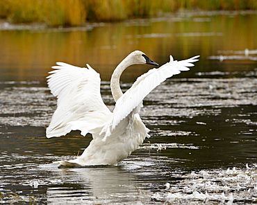 Trumpeter Swan (Cygnus buccinator) stretching its wings on a pond, Tok Cutoff, Alaska, United States of America, North America