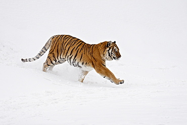 Siberian Tiger (Panthera tigris altaica) running through the snow, in captivity, near Bozeman, Montana, United States of America, North America