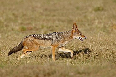 Black-backed Jackal (Silver-backed Jackal) (Canis mesomelas) running, Addo Elephant National Park, South Africa, Africa
