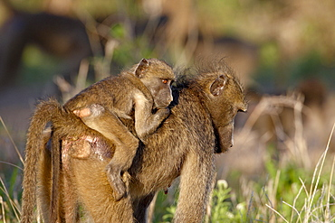 Young Chacma Baboon (Papio ursinus) riding its mother's back, Kruger National Park, South Africa, Africa