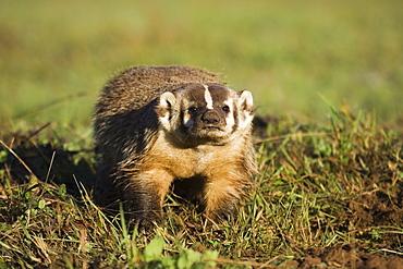 Badger (Taxidea taxus), in captivity, Minnesota Wildlife Connection, Sandstone, Minnesota, United States of America, North America