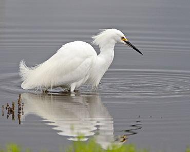 Snowy egret (Egretta thula) wading, San Jacinto Wildlife Area, California, United States of America, North America