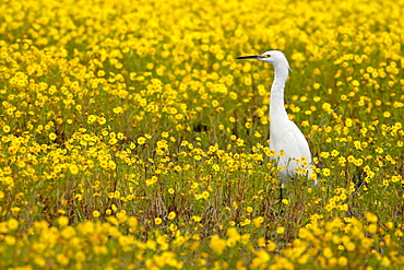 Snowy egret (Egretta thula) among goldfields (Lasthenia chrysostoma), San Jacinto Wildlife Area, California, United States of America, North America