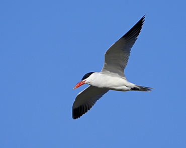 Caspian tern (Sterna caspia) in breeding plumage in flight, Salton Sea, California, United States of America, North America
