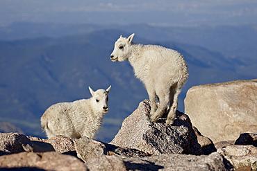 Two mountain goat (Oreamnos americanus) kids, Mount Evans, Colorado, United States of America, North America