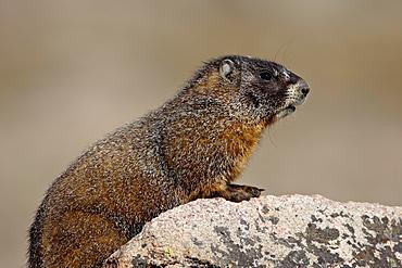 Yellowbelly marmot (yellow-bellied marmot) (Marmota flaviventris), Mount Evans, Colorado, United States of America, North America