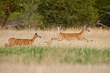 Two whitetail deer (Odocoileus virginianus) doe running, Stillwater County, Montana, United States of America, North America