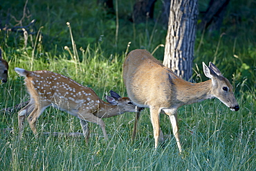 Whitetail deer (Odocoileus virginianus) fawn trying to nurse, Devil's Tower National Monument, Wyoming, United States of America, North America