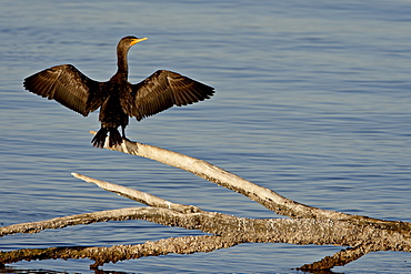 Juvenile double-crested cormorant (Phalacrocorax auritus) spreading its wings to dry, Sonny Bono Salton Sea National Wildlife Refuge, California, United States of America, North America