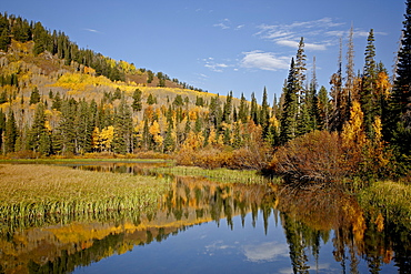 Yellow and orange aspens reflected in Sliver Lake in the fall, Wasatch-Cache National Forest, Utah, United States of America, North America