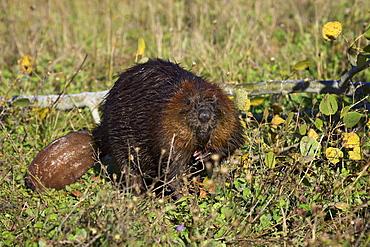 Captive beaver (Castor canadensis), Minnesota Wildlife Connection, Sandstone, Minnesota, United States of America, North America