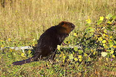 Captive beaver (Castor canadensis) standing by a downed tree, Sandstone, Minnesota, United States of America, North America