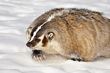 Badger (Taxidea taxus) in the snow, in captivity, near Bozeman, Montana, United States of America, North America