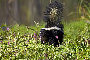 Striped skunk (Mephitis mephitis) with tail up, Minnesota Wildlife Connection, Sandstone, Minnesota, United States of America, North America