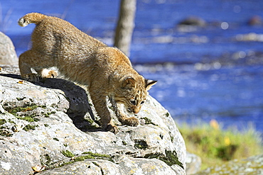 Young bobcat (Lynx rufus) in captivity, Minnesota Wildlife Connection, Sandstone, Minnesota, United States of America, North America