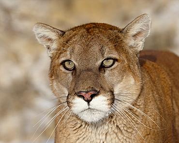 Mountain Lion (Cougar) (Felis concolor) in captivity, near Bozeman, Montana, United States of America, North America