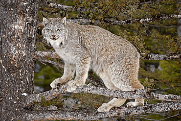 Canadian Lynx (Lynx canadensis) in a tree, in captivity, near Bozeman, Montana, United States of America, North America