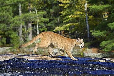 Captive mountain lion (cougar) (Felis concolor) crossing a stream, Minnesota Wildlife Connection, Sandstone, Minnesota, United States of America, North America