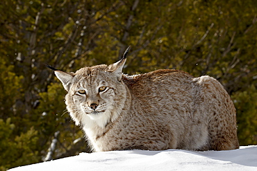 Captive Siberian lynx (Eurasian lynx) (Lynx lynx) in the snow, near Bozeman, Montana, United States of America, North America
