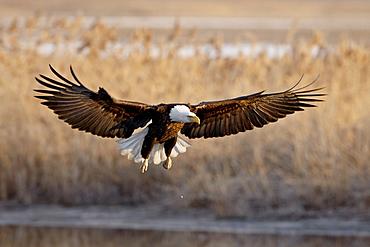 Bald eagle (Haliaeetus leucocephalus) in flight on final approach, Farmington Bay, Utah, United States of America, North America