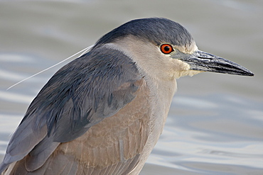 Black-crowned night-heron (Nycticorax nycticorax), Bear River Migratory Bird Refuge, Utah, United States of America, North America