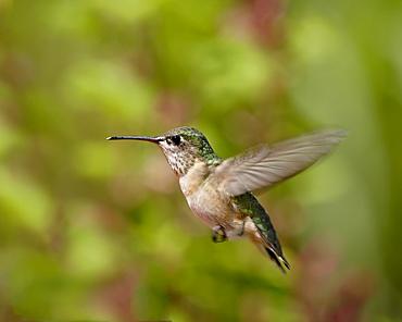 Female calliope Hummingbird (Stellula calliope) hovering, near Oliver, British Columbia, Canada, North America