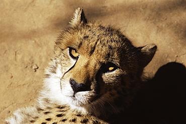 Cheetah (Acinoyx jubatus) in captivity, Oudtshoorn, South Africa, Africa