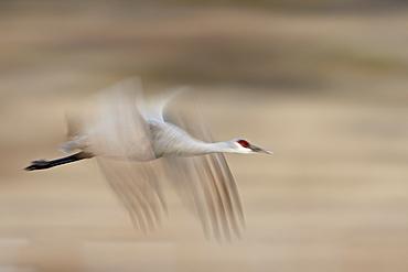 Sandhill crane (Grus canadensis) in flight, Bosque Del Apache National Wildlife Refuge, New Mexico, United States of America, North America