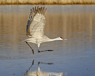 Sandhill crane (Grus canadensis) taking off from a pond, Bosque Del Apache National Wildlife Refuge, New Mexico, United States of America, North America