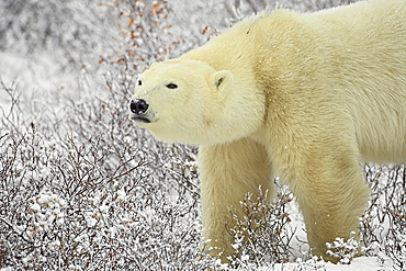 Polar bear (Thalarctos maritimus) standing among willow, Churchill, Manitoba, Canada, North America