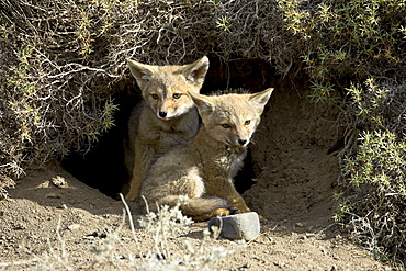 Two gray fox pups (Patagonian fox) (Pseudalopex griseus) at den entrance, Torres del Paine, Chile, South America