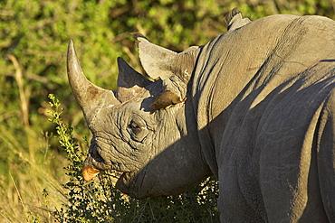 Black rhinoceros or hook-lipped rhinoceros (Diceros bicornis) feeding, with yellow-billed oxpecker (Buphagus africanus), Masai Mara National Reserve, Kenya, East Africa, Africa